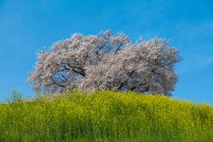 桜の写真素材 [FYI00256844]