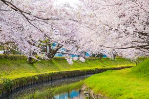 桜の写真素材 [FYI00256862]