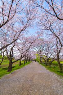 桜の写真素材 [FYI00256863]