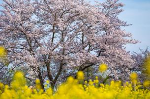 桜の写真素材 [FYI00256867]