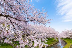 桜の写真素材 [FYI00256899]