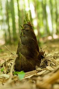 竹の子の写真素材 [FYI00256934]