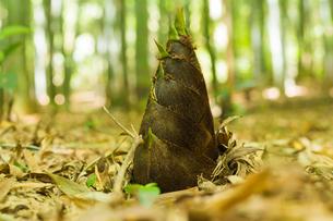 竹の子の写真素材 [FYI00256941]