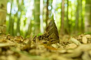 竹の子の写真素材 [FYI00256946]