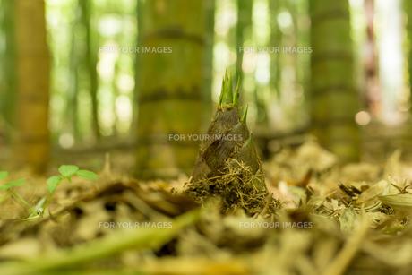 竹の子の素材 [FYI00256953]