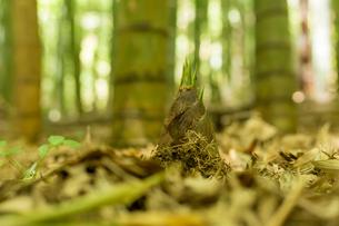 竹の子の写真素材 [FYI00256953]