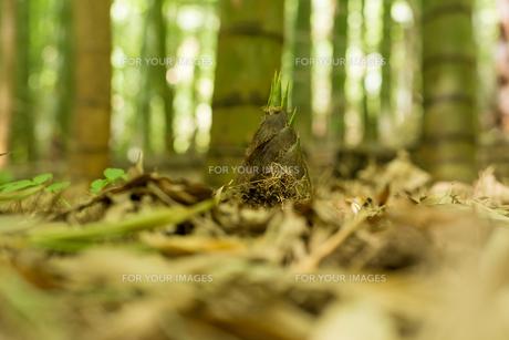 竹の子の素材 [FYI00256964]