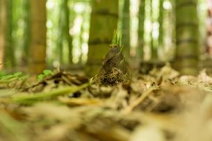 竹の子の写真素材 [FYI00256964]