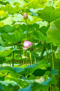 蓮の花の写真素材 [FYI00257129]