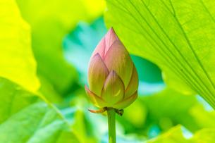 蓮の花の写真素材 [FYI00257142]