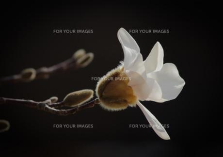 黒バックのハクモクレンの写真素材 [FYI00257190]