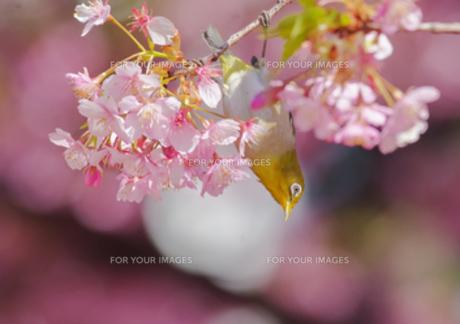 河津桜とメジロの写真素材 [FYI00257198]