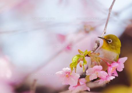 河津桜とメジロの写真素材 [FYI00257201]