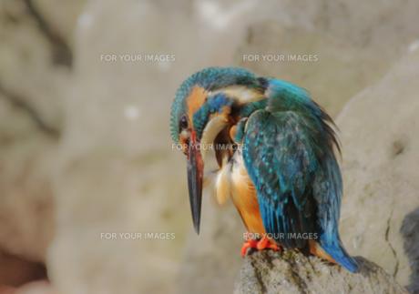 羽づくろいするカワセミの写真素材 [FYI00257212]