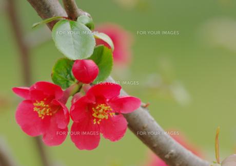 赤いボケの花の写真素材 [FYI00257226]