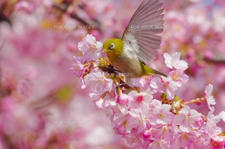 河津桜とメジロの写真素材 [FYI00257228]
