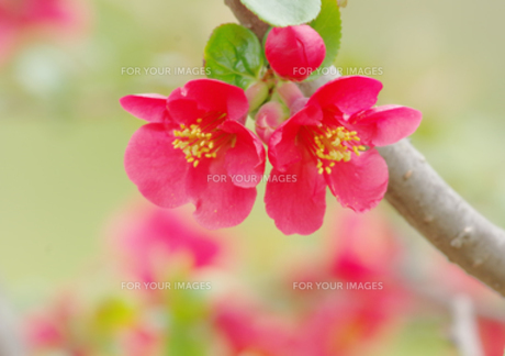 赤いボケの花の写真素材 [FYI00257229]