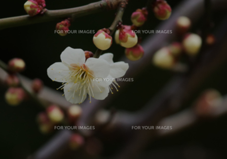 白梅の写真素材 [FYI00257231]