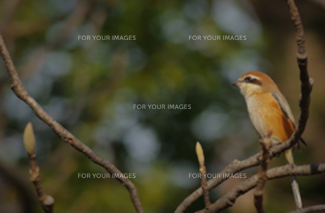 枝に止まるモズ♂の写真素材 [FYI00257234]