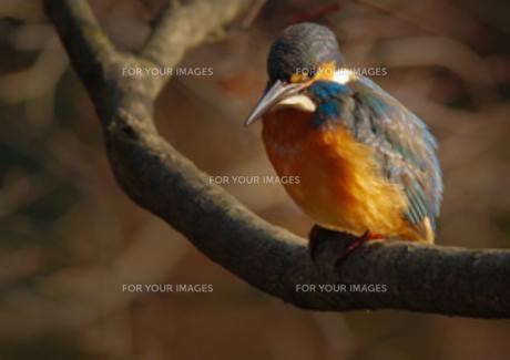 枝に止まるカワセミの写真素材 [FYI00257239]