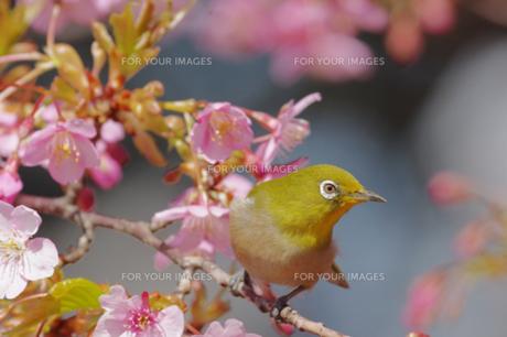 河津桜とメジロの写真素材 [FYI00257242]