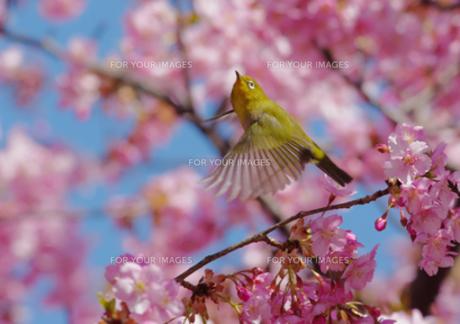 河津桜から飛び立つメジロの写真素材 [FYI00257243]