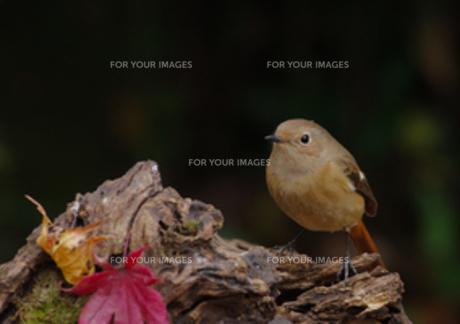 ジョウビタキ♀とモミジの写真素材 [FYI00257246]