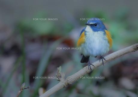 寒いので羽を膨らませているルリビタキ♂の写真素材 [FYI00257249]