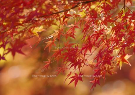きれいな紅葉の写真素材 [FYI00257251]