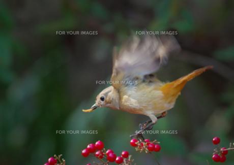 餌を捕えたジョウビタキ♀の写真素材 [FYI00257252]