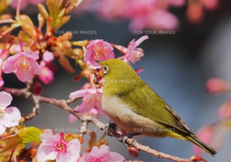 メジロと河津桜の写真素材 [FYI00257253]
