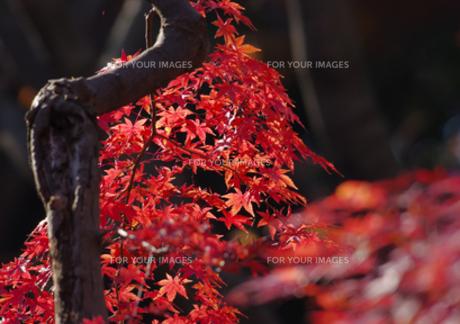 きれいな紅葉の写真素材 [FYI00257255]