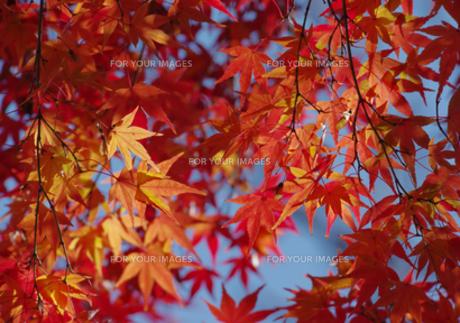 きれいな紅葉の写真素材 [FYI00257256]