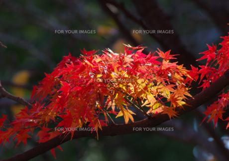 きれいな紅葉の写真素材 [FYI00257258]