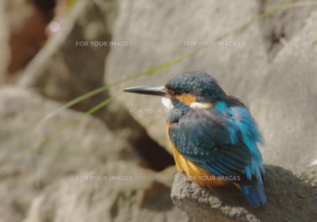 岩の上で休むカワセミの写真素材 [FYI00257264]