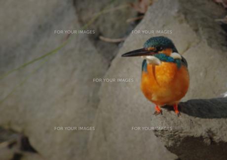 岩の上のカワセミの写真素材 [FYI00257267]