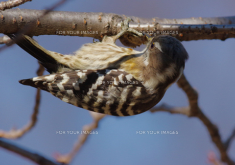 枝にぶる下がるコゲラの写真素材 [FYI00257269]