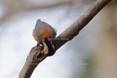 木の実を隠そうとしているヤマガラの写真素材 [FYI00257271]