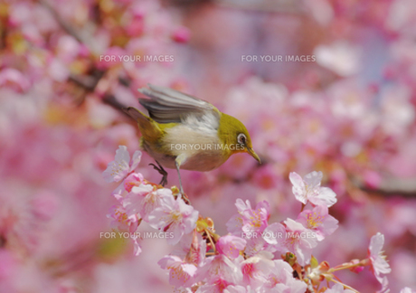 羽を少し広げたメジロと河津桜の写真素材 [FYI00257272]