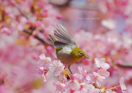 羽を広げたメジロと河津桜の写真素材 [FYI00257273]