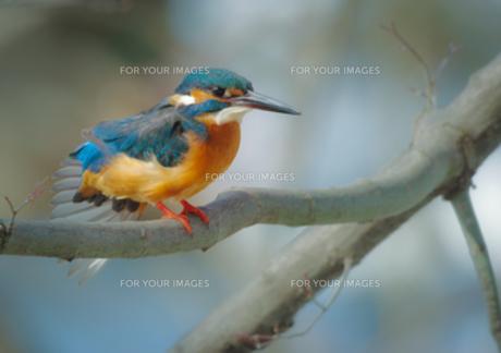 羽繕いするカワセミの写真素材 [FYI00257277]