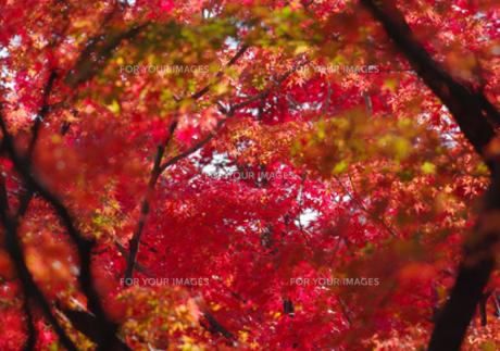 真っ赤な紅葉の写真素材 [FYI00257278]