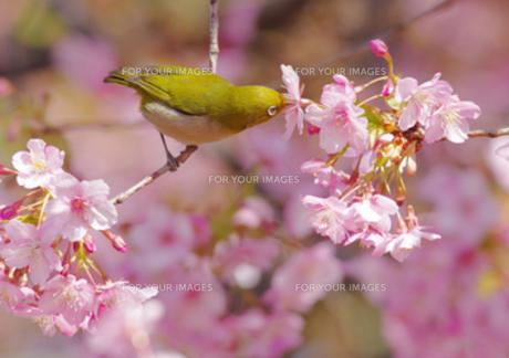 河津桜とメジロの写真素材 [FYI00257286]