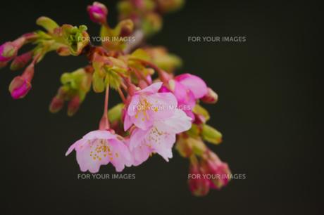 河津桜の写真素材 [FYI00257287]