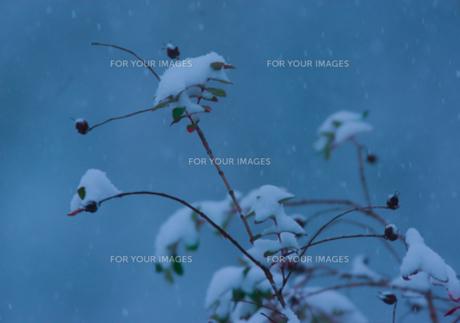木の実に初雪の写真素材 [FYI00257290]