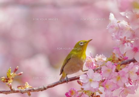 河津桜にメジロの写真素材 [FYI00257313]