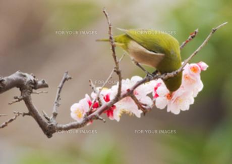 梅にメジロの写真素材 [FYI00257323]