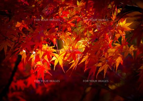 木漏れ日を受けるきれいな紅葉の写真素材 [FYI00257329]