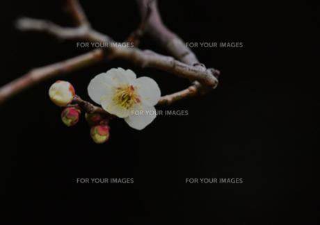 白梅の写真素材 [FYI00257335]