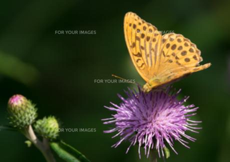 アザミに蝶の写真素材 [FYI00257338]